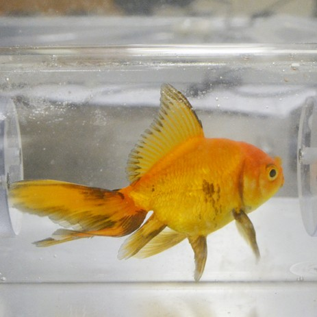 Large Chamber with Gold Fish